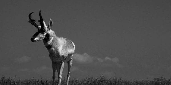 Deer, Antelope, or Sheep Species