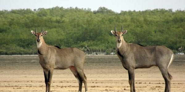 Three Things You Didn't Know About the Nilgai