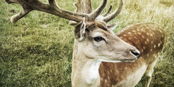 10 Facts About the Fallow Deer