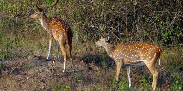 What You May Not Know About the Axis Deer