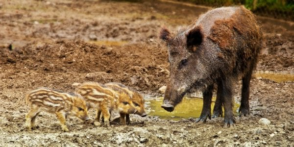 are feral hogs bad?